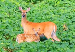 white-tailed deer doe & fawn near Decorah Fish Hatchery IA 854A0805 (lreis_naturalist) Tags: county fish field reis doe iowa deer fawn larry soybean decorah whitetailed hatchery winneshiek