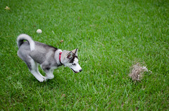 Yuki (hyunkyun) Tags: dog puppy backyard nikon husky texas running siberian kingwood d5100