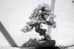 DSC_3847s (An Xiao) Tags: arboretum bonsai penjing