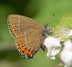 Black Hairstreak (Satyrium pruni) (KHR Images) Tags: blackhairstreak glapthorn butterfly rare insect nikon d7100 macro wildlife nature kevinrobson khrimages