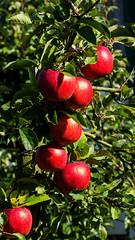 rafz_20_28092014_15'53 (eduard43) Tags: apfel apple rafz 2014 naturprodukte