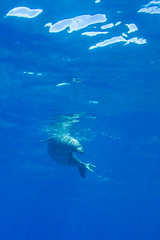 monkseal2Jun22-16 (divindk) Tags: hawaii hawaiianislands kauai lehuacrater neomonachusschauinslandi niihau underwater blueocean cute diverdoug endangeredspecies hawaiianmonkseal lazy marine marinemammal monkseal ocean sea seal underwaterphotography whiskers