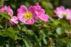 Summer feeling (Infomastern) Tags: flower macro insect blomma makro insekt dogrose nyponros