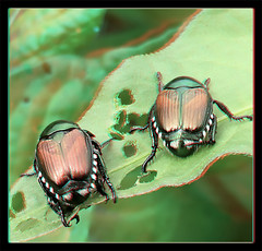 The Awkward 3rd Wheel - Anaglyph 3D (DarkOnus) Tags: macro wheel closeup insect japanese stereogram 3d day phone pennsylvania cell anaglyph stereo mating beetles japonica stereography 3rd buckscounty hump huawei popillia ihd hihd mate8 insecthumpday darkonus