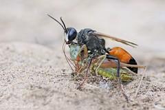 Sphex funerarius (Horst Beutler) Tags: sphex sphexfunerarius sphexrufocinctus aculeata sphecidae sandwasp wasp heuschreckensandwespe sandwespe heuschrecke metriopteraroeselii cricket beisschrecke roeselsbeisschrecke tettigoniidae wildlife prey pentax k5 smcpentaxdfa100mmf28macrowr smcpentaxfafadapter17x f81800seciso800 copyrighthorstbeutlerphotography