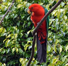 Australian King Parrot (Kiwi-Steve) Tags: nz newzealand parrot australiankingparrot bird nikond90 nikon colour red