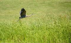 Crossing the Field (brev99) Tags: park bird ngc greatblueheron bif birdinflight d7100 nikviveza tamron70300vc highqualityanimals