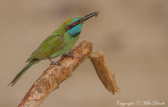 Little Green Bee-eater (Merops orientalis) (Mike Barth) Tags: green little beeeater merops orientalis