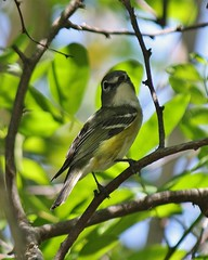 Blue-headed Vireo, Vireo solitarius (tripp.davenport) Tags: birds tx portaransas blueheadedvireo vireosolitarius nuecescounty turnbullbirdingcenter
