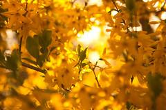 Forsythia sunshine (SolsticeSol) Tags: beautifulflowerpictures beautifulflowerimages