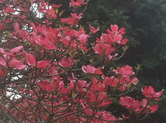 Pink Dogwood (randubnick) Tags: art fog photography spring photograph dogwood iphone bluespruce blossomingtrees iphonecamera