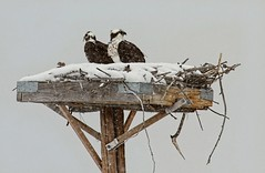 Huray Hurray, the first of May? (Patty Bauchman) Tags: nature wildlife osprey grandtetonnationalpark nestingosprey