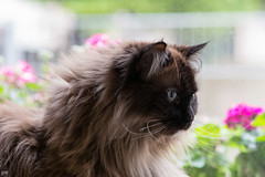 Leo (Petra Wendt) Tags: cats cat katze kater catmoments