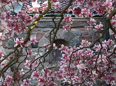 Magnolias At the Windows (marylea) Tags: pink flowers spring catholic michigan blossoms annarbor magnolia catholicchurch blooms magnolias stthomasaa stthomastheapostlecatholicchurch