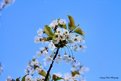Blossoming (Lee Summerson) Tags: blue sky tree blossom whit hartlepool