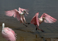 On the Move (KM Preston Photography) Tags: pink birds wildlife fl powerofthree roseatespoonbills natureplus fellsmere stickmarsh canal54 kmprestonphotography canont3i