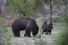 Standing Grizzly Bear Cubs (Daryl L. Hunter - The Hole Picture) Tags: usa cute unitedstates wyoming coy grandtetonnationalpark grizzlycubs 2013 springcubs cubsoftheyear grizzly399
