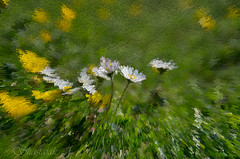 Daisies & Buttercups (Shastajak) Tags: daisies pentax k5 buttercups photoshopelements extrudefilter tamron18250mm pentaxk5 pse10