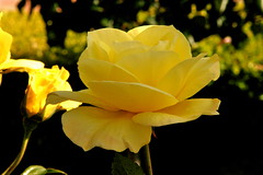 """yellow flower • <a style=""""font-size:0.8em;"""" href=""""http://www.flickr.com/photos/95808399@N03/8983946441/"""" target=""""_blank"""">View on Flickr</a>"""