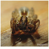 037 (imagepoetry) Tags: brown macro nature closeup insect spider eyes body sony sigma 70mm a65 imagepoetry sonyalpha