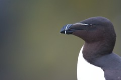 Profile of a Scottish Gentleman (Maurizio De Vita) Tags: italy nature birds animals scotland natura uccelli posted animali razorbill scozia alcatorda gazzamarina
