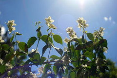 hundred-twelve: jasmine bush (a_la_ventura) Tags: blue light sky sun white flower green nature sunshine bush jasmine belarus minsk