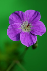 Geranium orientaltibeticum with green background (pollylew) Tags: flower garden geranium cranesbill hardygeranium
