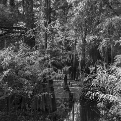Into The Dark And Foreboding Swamp (raisinsawdust - (aka: tennphoto)) Tags: bw reflection nature still log nikon quiet natural swamp cypress pearlriver louisianna d600 2013 nikond600