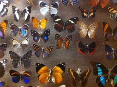 Butterflies, Booth Museum (AJoStone) Tags: brighton
