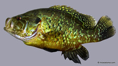 warmouth sunfish (Lepomis gulosus)