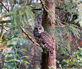 Barred Owl (Strix varia) on the prowl (1)