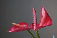 Anthurium (Swaentje5) Tags: pink flowers plant flower macro closeup anthurium flamingoflower 2013 flamingoplant sonynex5n sonysel55210 sel55210sonysel5521055210mmf4563lens sonysel5521055210mmf4563lens