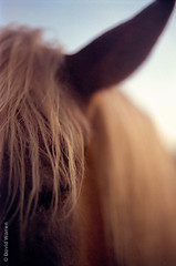 the workhorse (dwarrenku) Tags: horse film hair evening twilight bokeh earth farm depthoffield scenics nmh mounthermon colorperfect