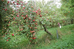 "Fireside Apple Tree <a style=""margin-left:10px; font-size:0.8em;"" href=""http://www.flickr.com/photos/91915217@N00/10302959216/"" target=""_blank"">@flickr</a>"