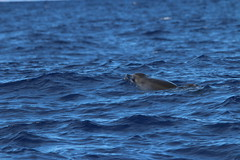 Common Bottlenose Dolphin - Madeira, Portugal