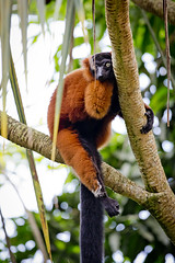 Red Ruffed Lemur (Michael Angst Photography) Tags: red tree cute nature animal animals zoo tiere hall funny zurich lazy lemur hanging animalplanet roter zoolife vari ruffed masoala animalworld tierwelt zoozrich zoowelt zooleben