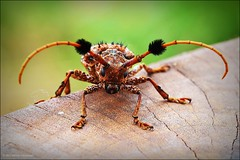 Aristobia horridula Longhorn Beetle (ulli_p) Tags: macro art nature colors beautiful animal canon bug thailand a
