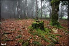 "El viejo ""tocn"" (PacoSo) Tags: naturaleza fog natura bosque niebla navarra pacoso"