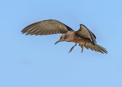 Brown Noddy (a moment frozen in time) (tickspics ) Tags: seychelles birdisland commonnoddy anousstolidus brownnoddy