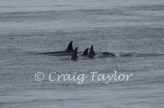 Whales in th Pentland Firth (Craig Taylor - Orkney) Tags: orkney killer whales firth pentland