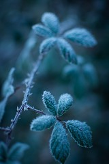 Le froid 2 (Thierry DAUTY) Tags: froid thierry glacial gelée ronce thierrydauty dauty