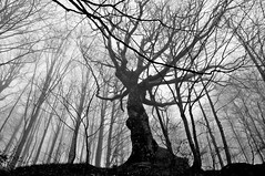 the giant (Claudia Gaiotto) Tags: trees monochrome fog giant pov nebbia colosso forets brumes