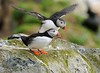 Puffin, Varanger, Norway, May 2011 (Steve Rogers - swopticsphoto) Tags: norway puffin varanger 600mmf4 may2011 nikond3x norway090511
