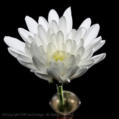 1/100 - Chrysanthemum (*ian*) Tags: white black flower macro nature closeup blackbackground cutout square whiteflower flora pistil petal stamen bloom vase pollen favourite chrysanthemum stigma isolated anther 100x bigemrg 100x2014