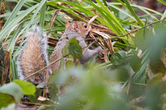 Squirrel-2466 (WendyCoops224) Tags: canon woodland eos design squirrel nest interior busy material local making drey 70d 100400mml