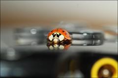 Ladybird (Madr@t) Tags: psp ladybird ladybug canonefs60mmf28macrousm
