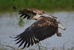 African Fish Eagle (Haliaeetus vocifer) Imm (Ian N. White) Tags: gaborone botswana africanfisheagle haliaeetusvocifer