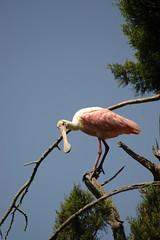 Roseate Spoonbill (Cumberland Island NPS) Tags: birds wildlife scenics spoonbill roseate roseatespoonbill