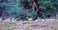 Deer (Eduard van Bergen) Tags: trees evening deer avond hoge veluwe heide prins hert ree bosrand herten dophei
