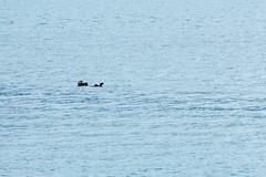 _MG_4627a (markbyzewski) Tags: alaska ugly seaotter glacierbaynationalpark